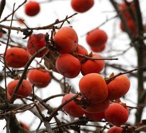 Food gardens melbourne - Libertas Food Gardens - Persimmon