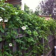 Passion fruit vine and backyard poultry