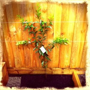 Espalier fruit tree - flat lemon tree - Fanned citrus - Melbourne permaculture